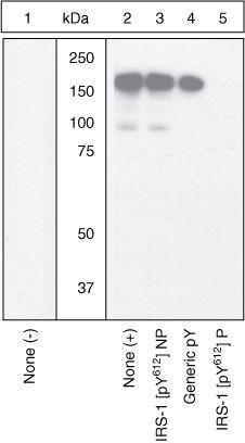 Phospho-IRS1 (Tyr612) Antibody in Western Blot (WB)