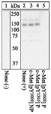 Phospho-c-Met (Tyr1003) Antibody in Western Blot (WB)