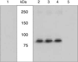 Phospho-RSK1 (Ser221) Antibody in Cell Treatment (TM)