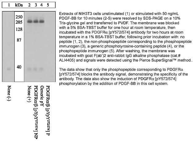 Phospho-PDGFRA/PDGFRB (Tyr572, Tyr574) Antibody in Western Blot (WB)