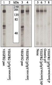 Phospho-VEGF Receptor 2 (Tyr1054) Antibody in Western Blot (WB)