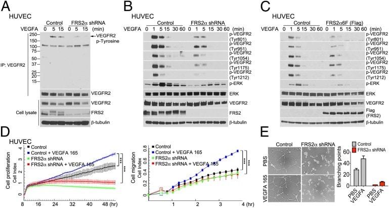 Phospho-VEGF Receptor 2 (Tyr1214) Antibody