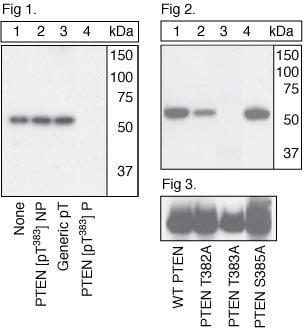 Phospho-PTEN (Thr383) Antibody in Western Blot (WB)