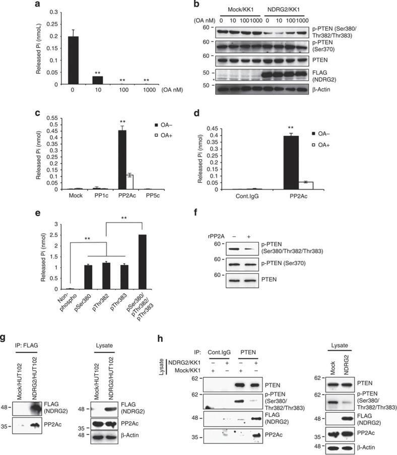 Phospho-PTEN (Ser385) Antibody