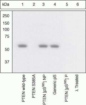 Phospho-PTEN (Ser385) Antibody in Western Blot (WB)
