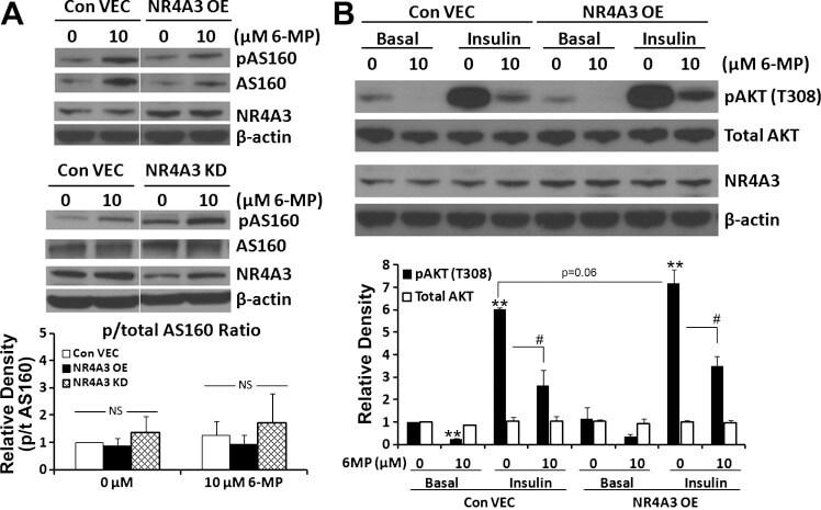 Phospho-AS160 (Thr642) Antibody