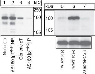 Phospho-AS160 (Thr642) Antibody in Western Blot (WB)