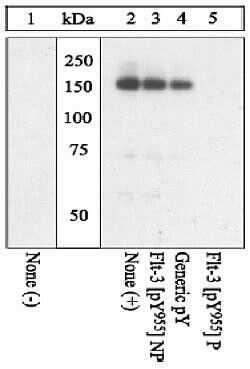 Phospho-FLT3 (Tyr955) Antibody in Western Blot (WB)