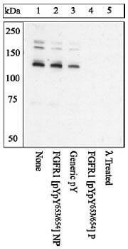 Phospho-FGFR1 (Tyr653, Tyr654) Antibody in Western Blot (WB)