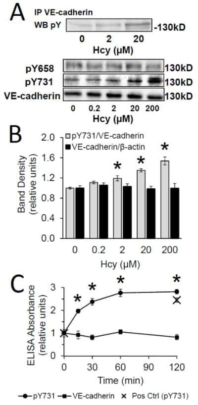 Phospho-VE-cadherin (Tyr731) Antibody