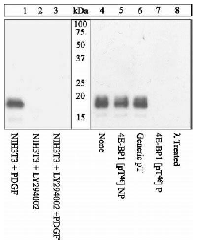 Phospho-4EBP1 (Thr46) Antibody in Western Blot (WB)