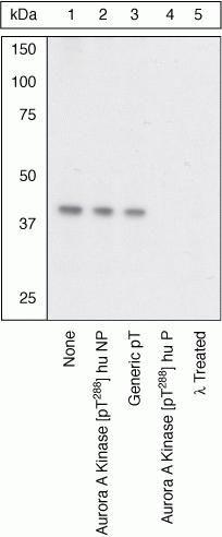 Phospho-Aurora A (Thr288) Antibody in Western Blot (WB)
