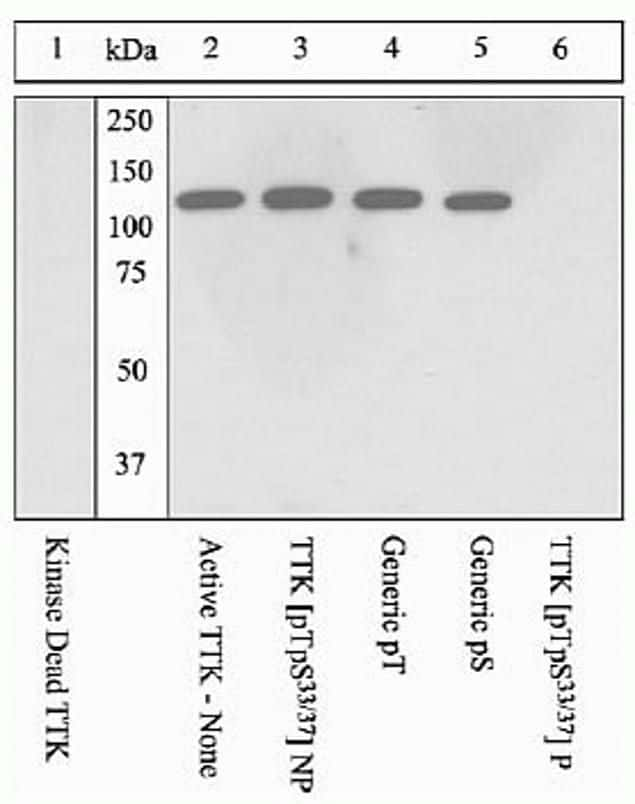 Phospho-TTK (Thr33, Ser37) Antibody in Western Blot (WB)