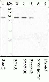 Phospho-MDM2 (Ser166) Antibody in Cell Treatment