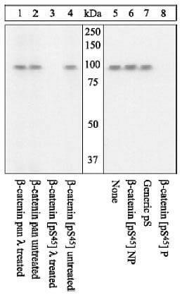 Phospho-beta Catenin (Ser45) Antibody in Western Blot (WB)