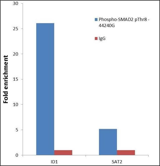 Phospho-SMAD2 (Thr8) Antibody in Relative expression
