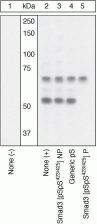Phospho-SMAD3 (Ser423, Ser425) Antibody in Western Blot (WB)