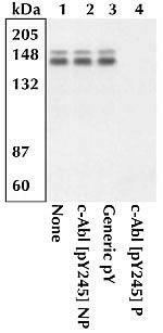 Phospho-c-Abl (Tyr245) Antibody in Western Blot (WB)