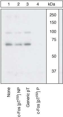 Phospho-c-Fos (Thr232) Antibody in Western Blot (WB)