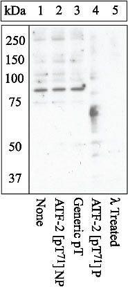 Phospho-ATF2 (Thr71) Antibody in Western Blot (WB)