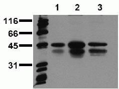 Phospho-CREB (Ser129, Ser133) Antibody in Western Blot (WB)