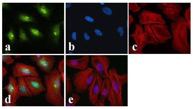 Phospho-CREB (Ser129, Ser133) Antibody in Immunofluorescence (IF)