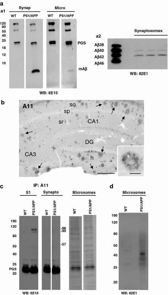 beta Amyloid (1-42) Antibody in Western Blot (WB)