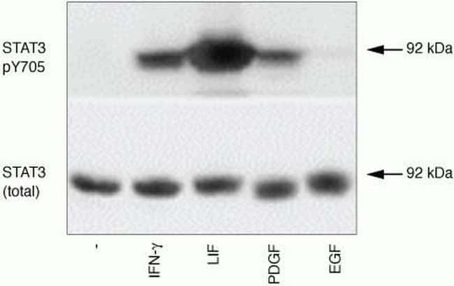 Phospho-STAT3 (Tyr705) Antibody in Western Blot (WB)