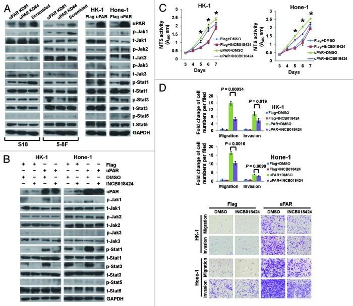 Phospho-STAT5 alpha (Tyr694) Antibody