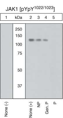 Phospho-JAK1 (Tyr1022, Tyr1023) Antibody in Western Blot (WB)