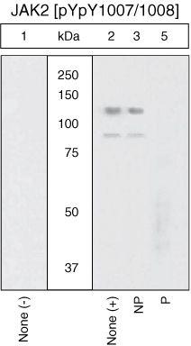 Phospho-JAK2 (Tyr1007, Tyr1008) Antibody in Western Blot (WB)