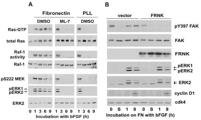 Phospho-MEK1/MEK2 (Ser222) Antibody