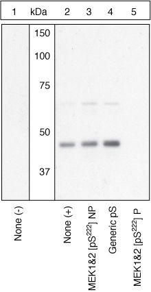 Phospho-MEK1/MEK2 (Ser222) Antibody in Western Blot (WB)