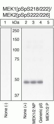 Phospho-MEK1/MEK2 (Ser218, Ser222, Ser226) Antibody in Western Blot (WB)