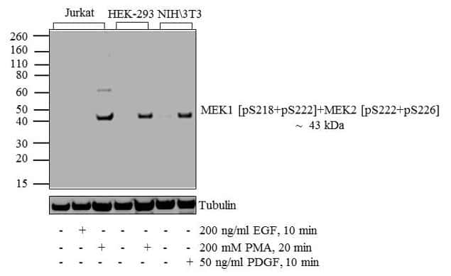 Phospho-MEK1/MEK2 (Ser218, Ser222, Ser226) Antibody in Cell treatment