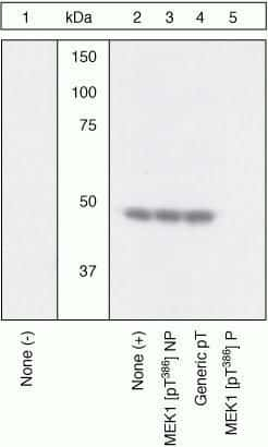 Phospho-MEK1 (Thr386) Antibody in Western Blot (WB)