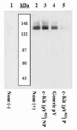 Phospho-c-Kit (Tyr823) Antibody in Western Blot (WB)