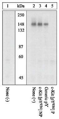 Phospho-c-Kit (Tyr936) Antibody in Western Blot (WB)