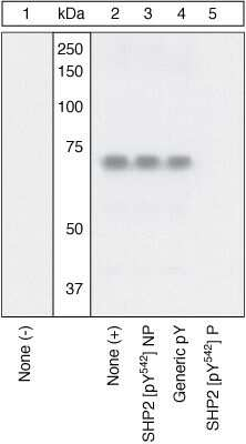 Phospho-SHP2 (Tyr542) Antibody in Western Blot (WB)