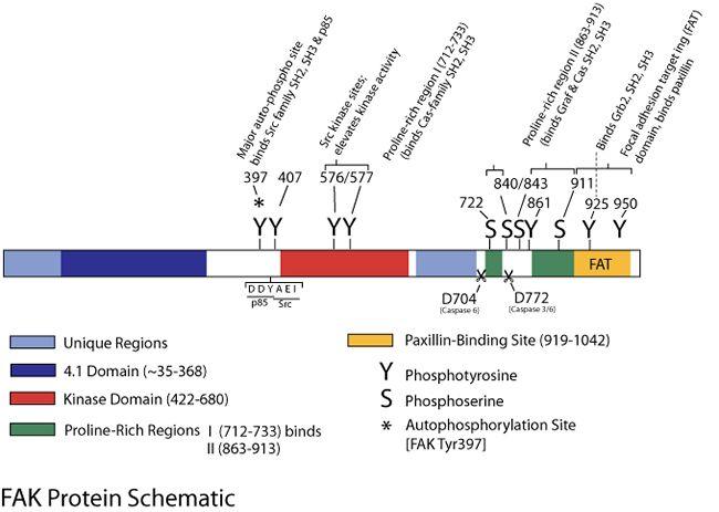 Phospho-FAK (Ser722) Antibody