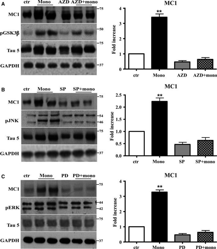 Phospho-GSK3B (Tyr216, Tyr279) Antibody