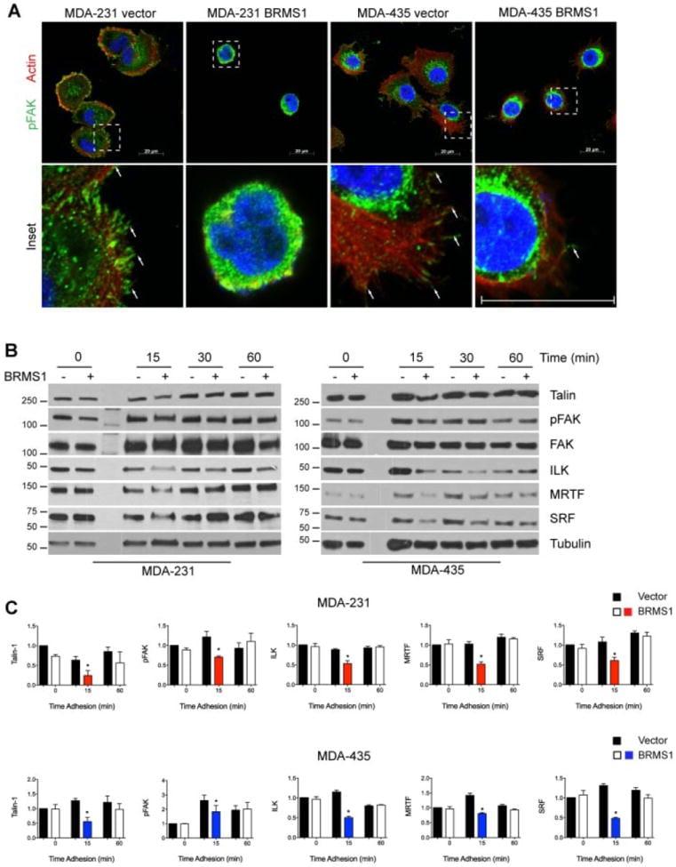 Phospho-FAK (Tyr397) Antibody
