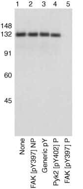 Phospho-FAK (Tyr397) Antibody in Western Blot (WB)