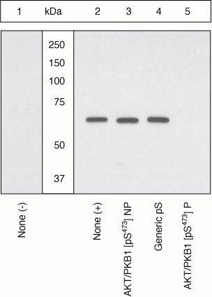 Phospho-PYK2 (Tyr579) Antibody in Western Blot (WB)