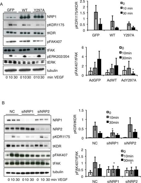 Phospho-FAK (Tyr407) Antibody