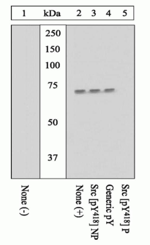 Phospho-SRC (Tyr419) Antibody in Western Blot (WB)