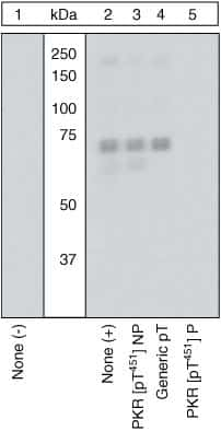 Phospho-PKR (Thr451) Antibody in Western Blot (WB)