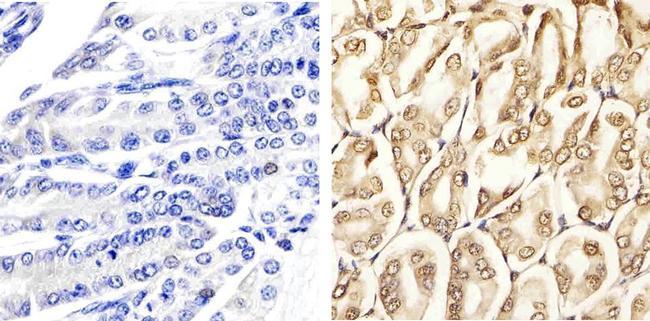 Phospho-ERK1/ERK2 (Thr185, Tyr187) Antibody in Immunohistochemistry (Paraffin) (IHC (P))
