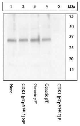 Phospho-CDK1 (Thr14, Tyr15) Antibody in Western Blot (WB)