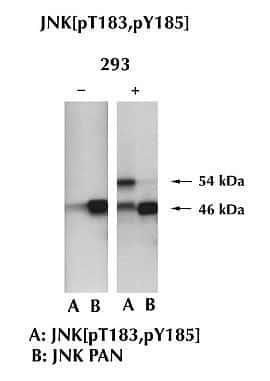 JNK1 Antibody in Western Blot (WB)